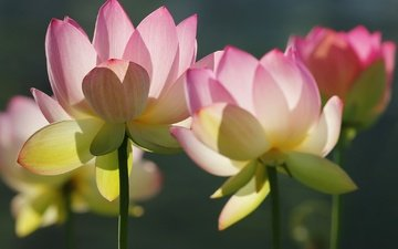 flowers, macro, petals, stems, lotus
