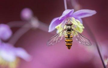макро, насекомое, цветок, размытость, муха, боке, журчалка