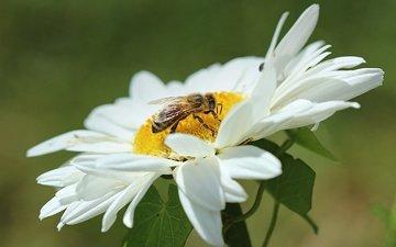 макро, насекомое, цветок, лепестки, ромашка, пчела, оса