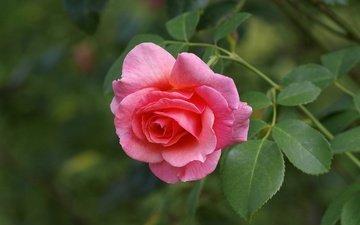 макро, цветок, роза, лепестки, бутон, розовая роза