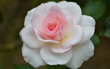 макро, цветок, роза, лепестки, бутон, розовый