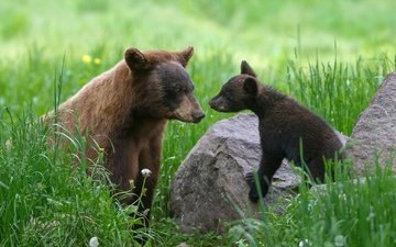 grass, stones, dandelions, mom, baby, bears, bear