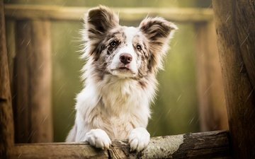 face, tree, background, portrait, sadness, look, dog, puppy, rain, logs, australian shepherd, aussie