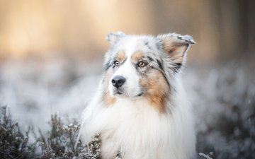 face, dog, blur, bokeh, australian shepherd, aussie
