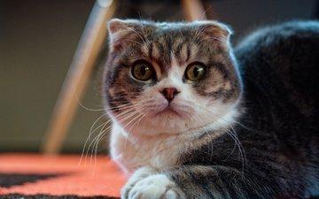 кот, мордочка, усы, кошка, взгляд, скоттиш-фолд, шотландская вислоухая кошка