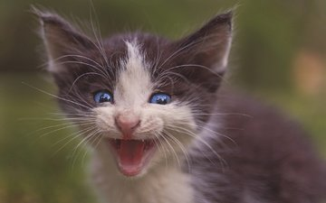 кот, мордочка, усы, кошка, взгляд, котенок, малыш, голубые глаза, пискля