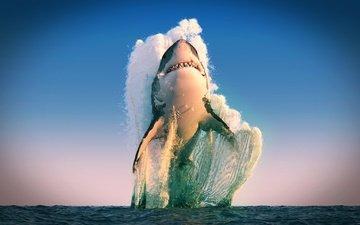 море, хищник, акула, белая акула