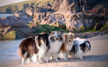 море, побережье, собаки, шелти, шетландская овчарка