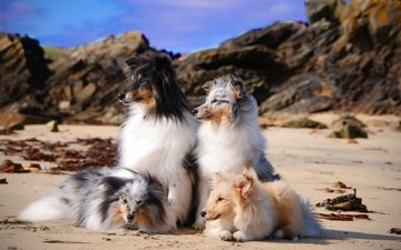 sea, sand, beach, coast, dogs, sheltie, shetland sheepdog