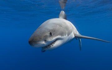 море, океан, хищник, рыба, акула, подводный мир, белая акула