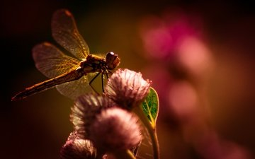 flowers, macro, insect, wings, blur, dragonfly