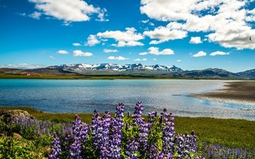 the sky, flowers, clouds, river, mountains, shore, houses, iceland, sunny, lupin, snaefellsnesog hnappadalssysla