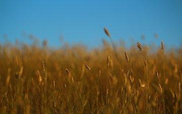 небо, трава, лето, колоски, стебли