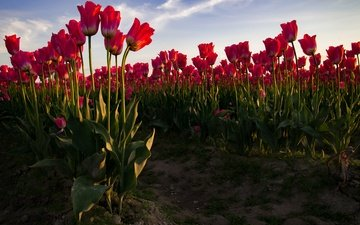 the sky, flowers, buds, field, petals, red, spring, tulips, stems