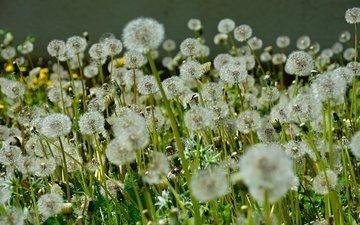 цветы, стебли, семена, одуванчики, пух, пушинки, былинки