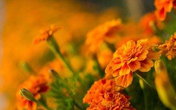 цветы, размытость, боке, бархатцы, оранжевые цветочки