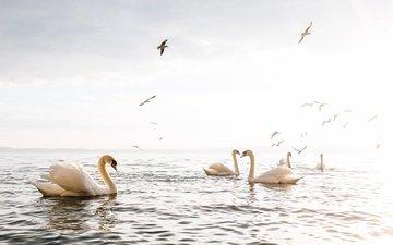 озеро, птицы, клюв, перья, лебеди, белый лебедь