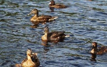 вода, озеро, птицы, утки