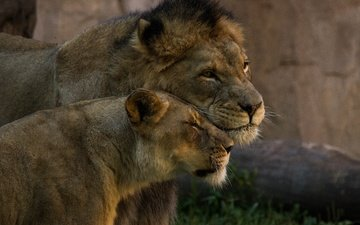 пара, львы, нежность, дикие кошки, лев, львица