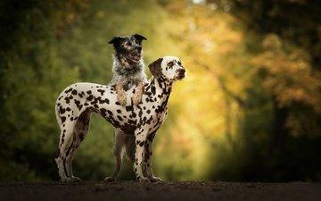 grass, nature, pair, walk, dalmatian, dogs, bokeh, australian shepherd, two dogs