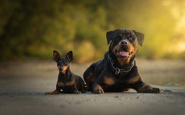 пара, собаки, боке, ротвейлер, две собаки, карликовый пинчер