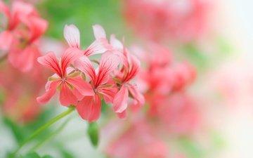 цветы, лепестки, размытость, пастель, флора, пеларгония, pelargonium