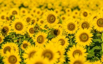 flowers, field, petals, sunflowers, yellow flowers