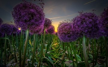 field, bow, plant, inflorescence, decorative bow, plantation, allium
