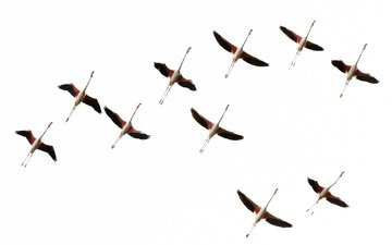 flight, flamingo, wings, birds, pack
