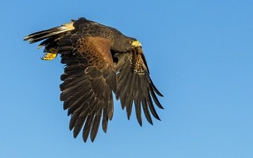 flight, wings, predator, bird, beak, hawk, desert buzzard