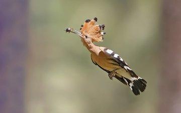 полет, птица, клюв, перья, удод