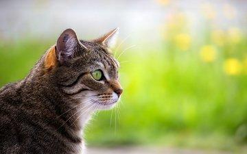 portrait, cat, muzzle, mustache, look, profile
