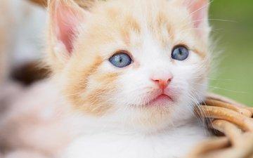 портрет, кот, мордочка, усы, кошка, взгляд, котенок, малыш, голубые глаза