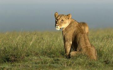 морда, природа, взгляд, африка, хищник, лев, львица, дикая кошка