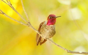 ветка, природа, цвет, птица, клюв, перья, калибри
