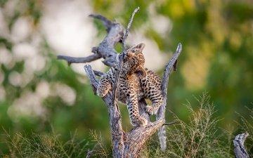природа, дерево, мордочка, взгляд, леопард, детеныш, мертвое дерево