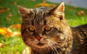природа, кот, мордочка, усы, кошка, взгляд