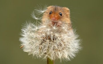 flowers, nature, summer, mouse, dandelion, fluff, fuzzes, blade, the mouse is tiny