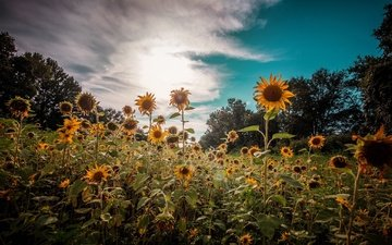 the sky, flowers, clouds, nature, plants, summer, sunflowers