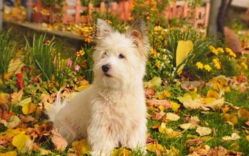природа, листва, осень, собачка, вест-хайленд-уайт-терьер