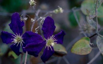 цветы, природа, макро, лепестки, растение, клематис