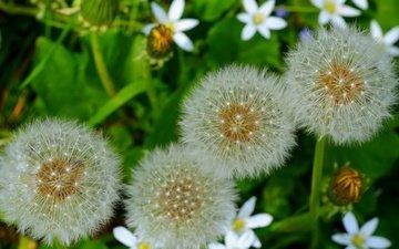 цветы, природа, макро, семена, одуванчики, пух, пушинки, былинки