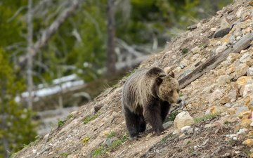 nature, stones, slope, bear, grizzly