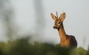 природа, олень, фон, размытость, рога, косуля