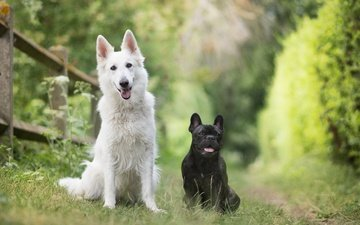 nature, pair, friends, dogs, bokeh, french bulldog, two dogs, the white swiss shepherd dog