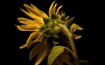 nature, petals, sunflower, black background, stem