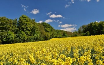 the sky, clouds, trees, nature, field, summer, rape, yellow flowers