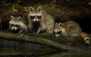 природа, взгляд, семья, еноты, мордочки