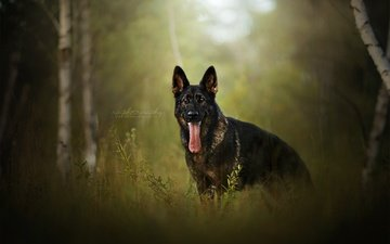 природа, березы, собака, друг, язык, немецкая овчарка