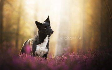 цветы, природа, мордочка, взгляд, собака, овчарка